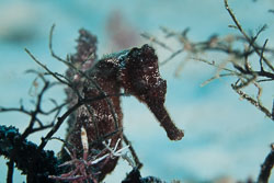 BD-101205-Playa-del-Carmen-2557-Hippocampus-reidi.-Ginsburg.-1933-[Longsnout-seahorse].jpg